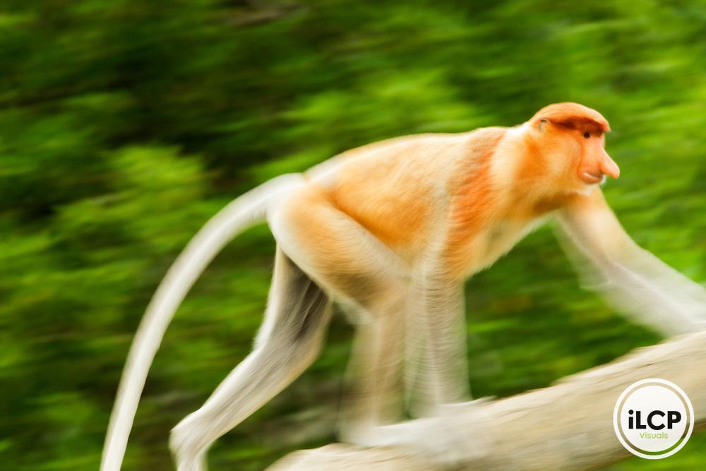 Proboscis Monkey (Nasalis larvatus) male walking up branch, Sabah, Borneo, Malaysia