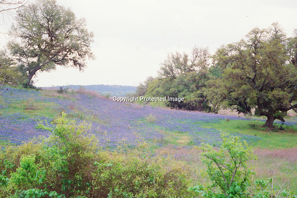 "Bluebonnets blanket the rolling hills of Central Texas. NOTE: Click ""Shopping Cart"" icon for available sizes and prices. If a ""Purchase this image"" screen opens, click arrow on it. Doing so does not constitute making a purchase. To purchase, additional steps are required."