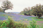 """Bluebonnets blanket the rolling hills of Central Texas. NOTE: Click """"Shopping Cart"""" icon for available sizes and prices. If a """"Purchase this image"""" screen opens, click arrow on it. Doing so does not constitute making a purchase. To purchase, additional steps are required."""