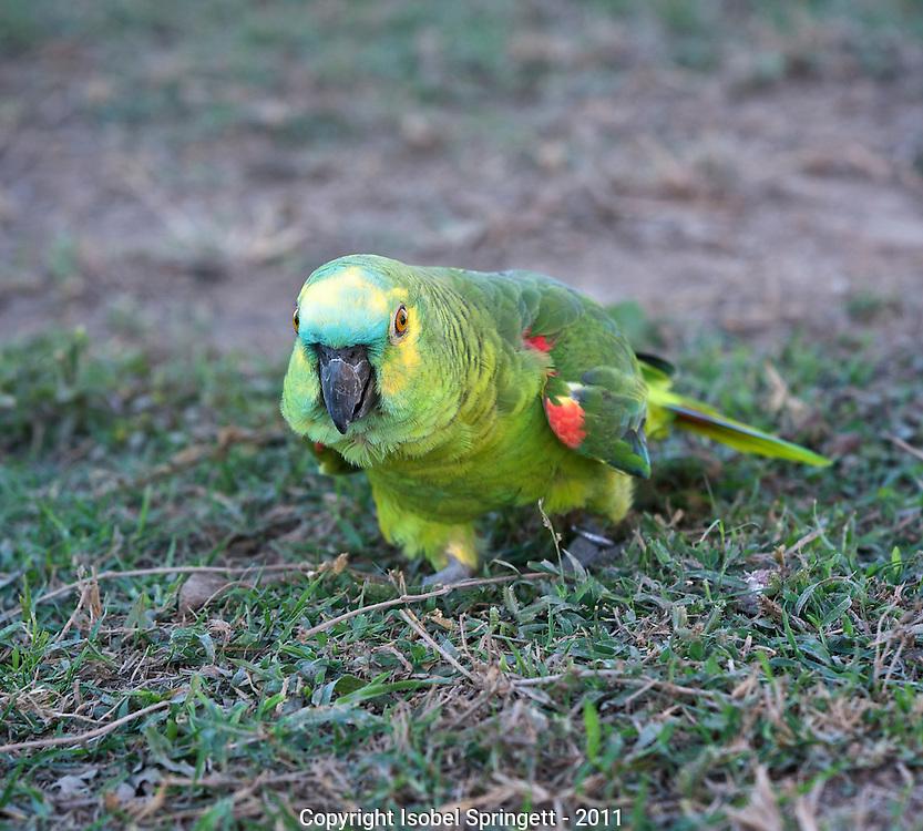 Amazon Parrot (Mealy Parrot).  (Amazona farinosa), Courtenay, Matto Grosso, Brazil, Isobel Springett