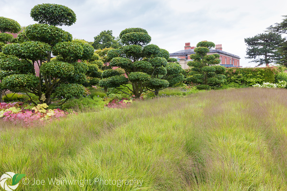 Cloud pruned hornbeams at the private NGS garden Cogshall Grange, Cheshire - pictured  in July