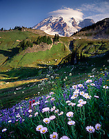 Asters and Mount Rainier, Mount Rainier National Park Washington