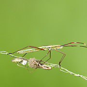 Slender Rice Bug, Leptocorisa oratorius. An Alydidae bug known to feed on rice and is considered a pest to rice farmers.