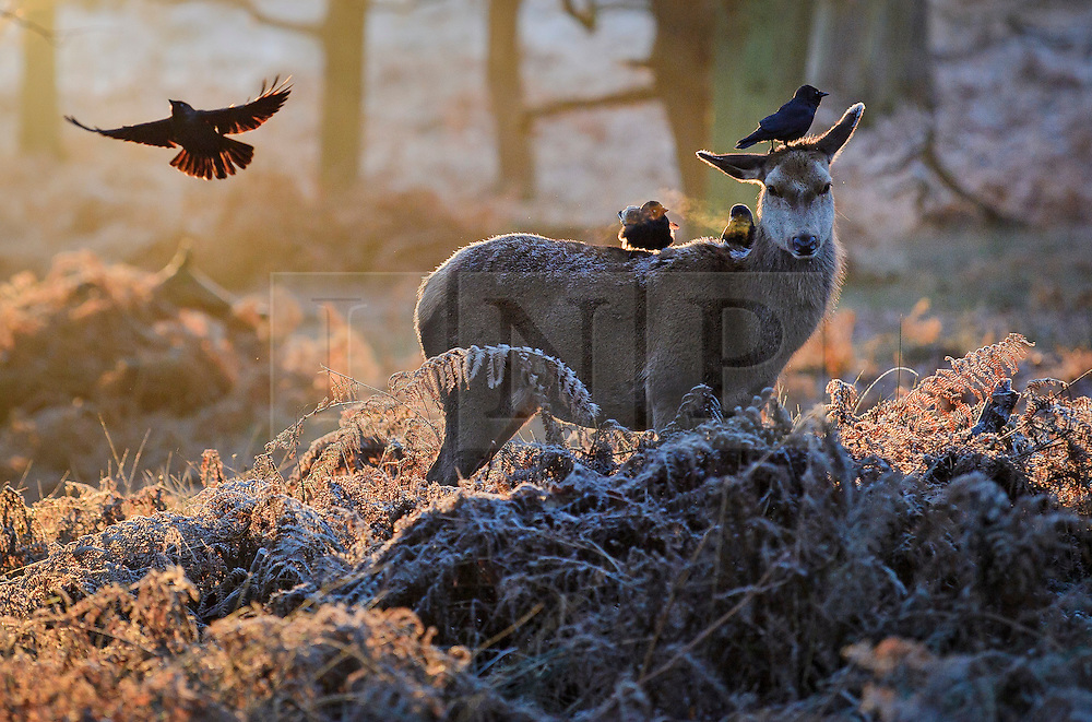 © Licensed to London News Pictures. 03/01/2017. London, UK. A deer stands in frost covered woodland at sunrise in Richmond Park in London as temperatures in the capital drop below zero. . Photo credit: Ben Cawthra/LNP