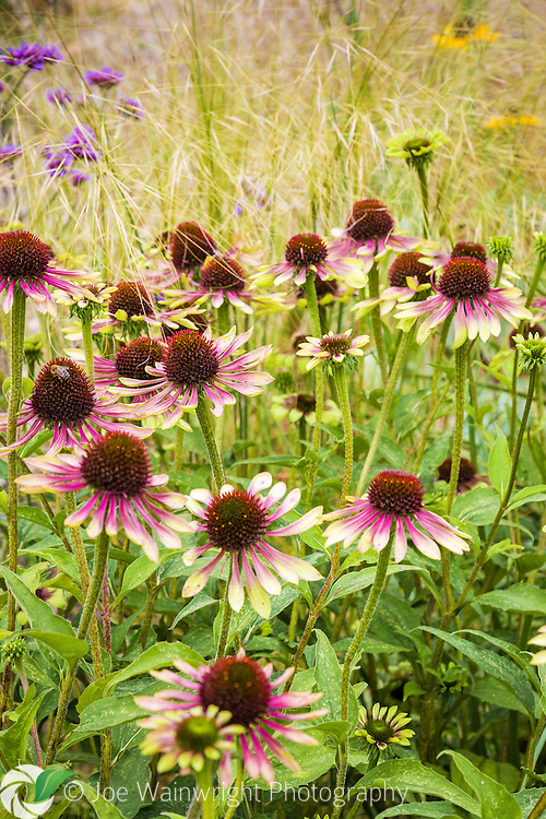 A bee is busily at work on Echinacea Green Envy, in an English Garden