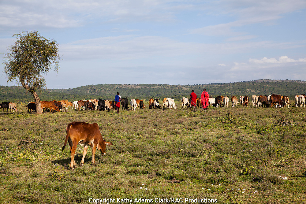 Maasai young boys herding cattle at a village outside, Serengeti National Park, Tanzania, Africa.