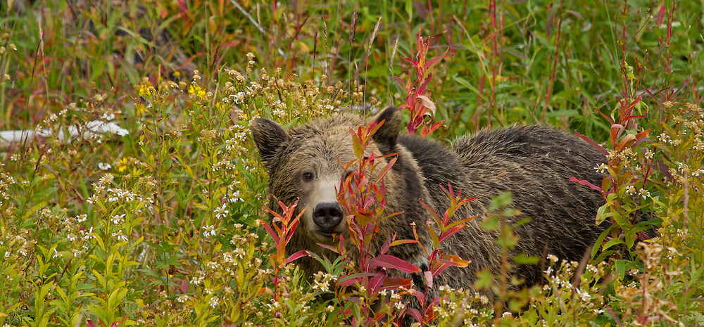 While feasting on berries and plants, this young grizzly peers out from behind the brightly-colored fall vegetation near Yellowstone Lake. Although the diet of the grizzly varies extensively based on seasonal changes, plants make up a large portion of their diet, with some estimates as high as 80-90%.