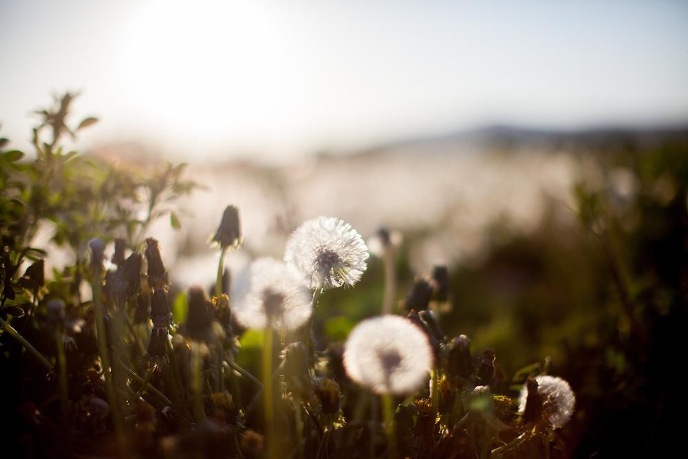 A field in Oberursel with <br /> Dandelions.