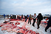 Men of all ages and a few women butcher the first whale caught in this year's whaling season in Barrow, AK on September 22, 2014. The whale blubber and meat is cut into large slabs and divided among the crews and the community.