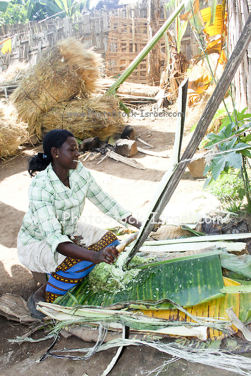 Africa, Ethiopia, Omo region, Chencha, Dorze village. Woman shaving a leaf of the fruitless Banana. These shavings are the major ingredient in the local bread