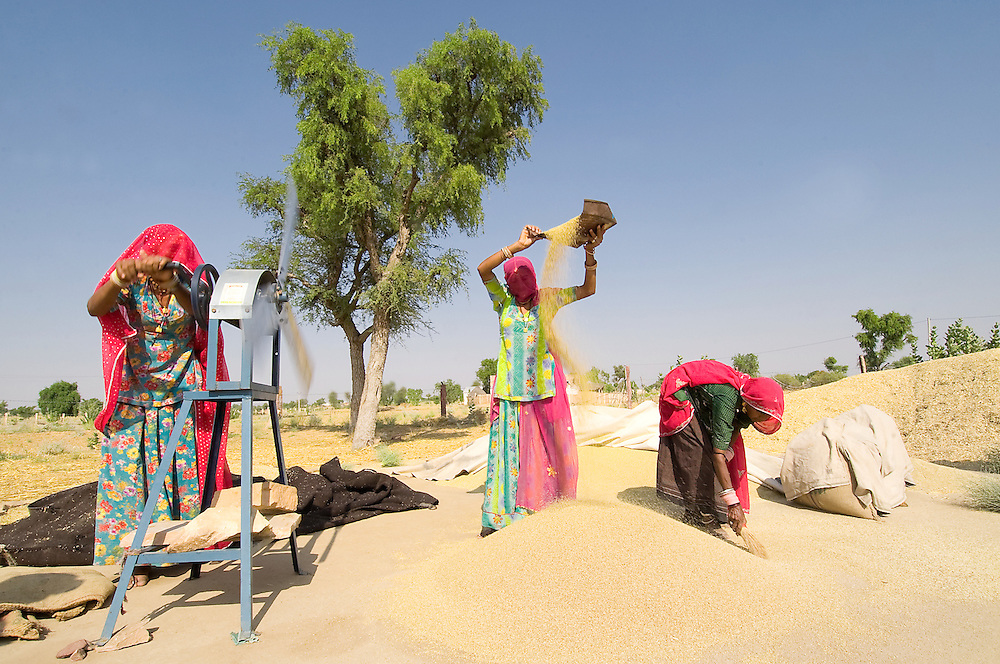 Rajasthani women working in the field, busy shifting the wheat from the chaff (India)