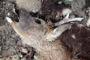 head of dead decomposing deer