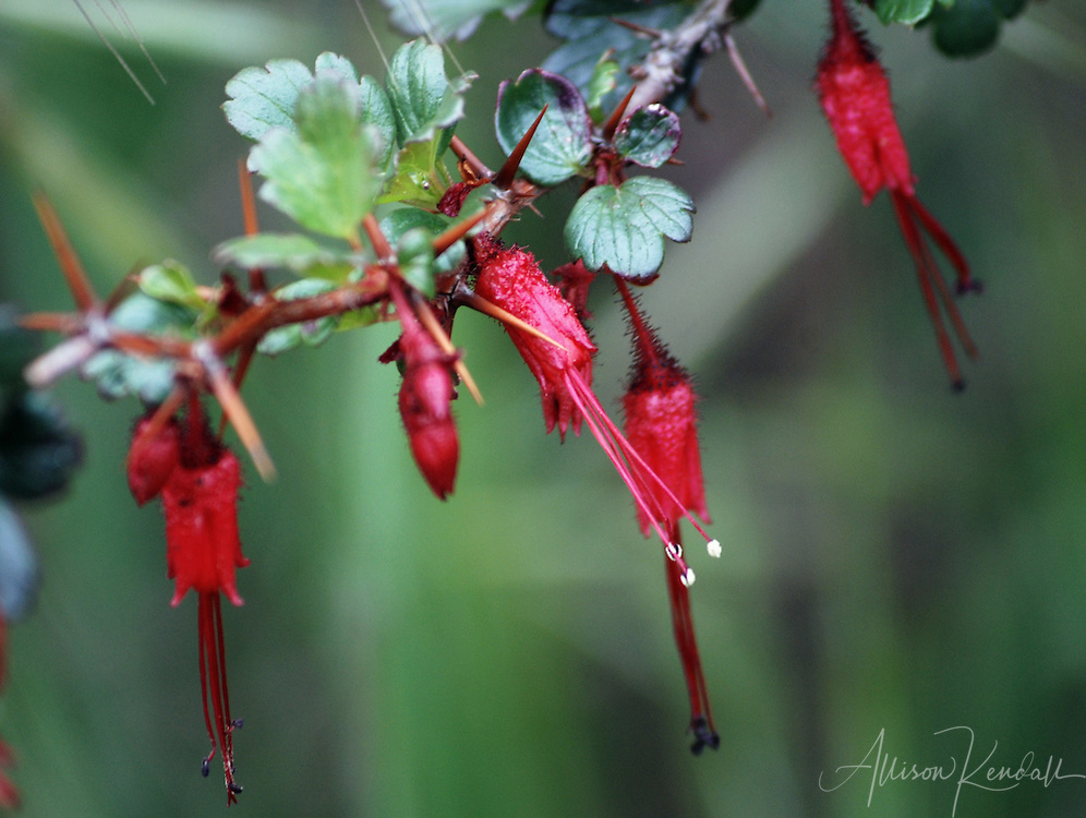 Elongated bright red flowers line a branch, between glossy dark green leaves and spiky, sharp thorns