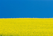 Canola flowers and blue sky.  Killarney. Manitoba