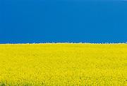 Canola flowers and blue sky.  Killarney. Manitoba