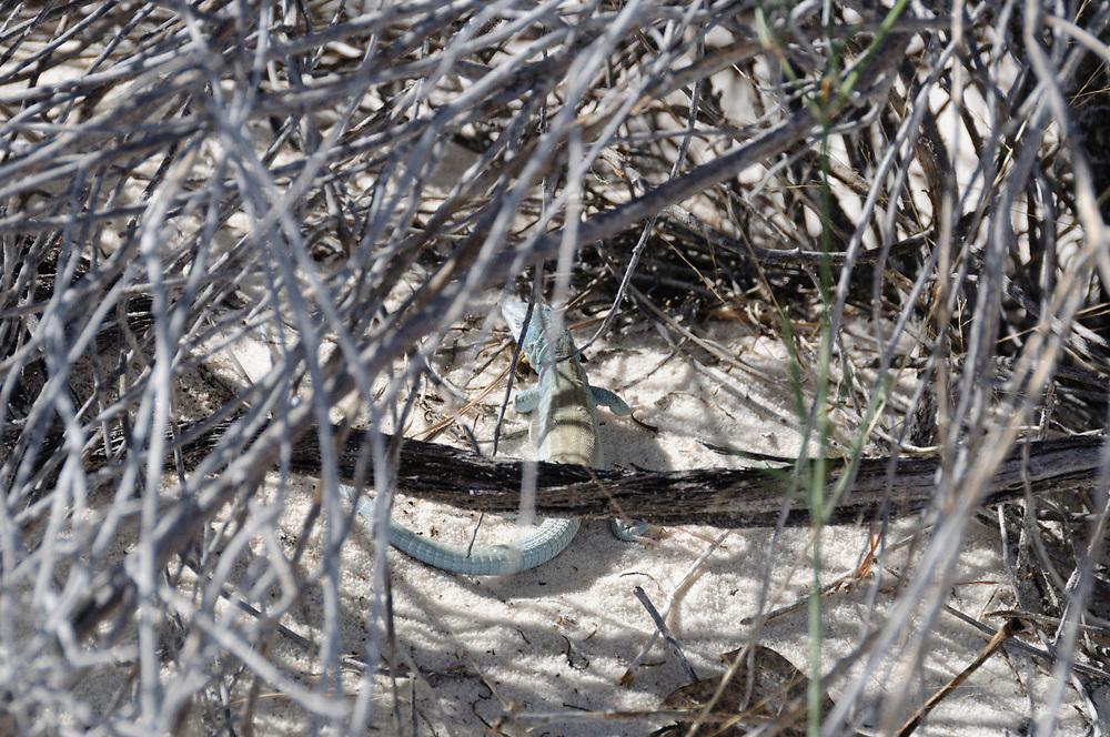 Cnemidophorus neomexicanus, White Sands National Monument, Alamogordo, New Mexico