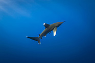 Oceanic whitetip shark (Carcharhinus longimanus) - Red Sea - Egypt