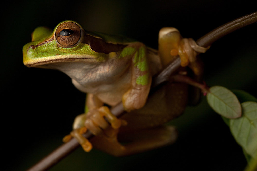 New Granada Cross Banded treefrog, Smilisca phaeota, in the Choco Department of Colombia