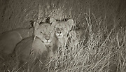 Safe from harm and cuddling up together, first pictures of Cecil the lion's cubs since he was killed by US dentist show that they are thriving under new pride leader - their uncle Jericho<br /> <br /> Safe from harm and cuddling up together, these are the pictures that show Cecil the lion's cubs - orphaned when a US dentist killed their father.<br /> The infant lions have been adopted by their new pride leader, under the watchful eye of their uncle Jericho,in Hwange National Park, Zimbabwe.<br /> <br /> Cecil's young have been seen regularly according to conservationists in the area - and have been taken under the wing of three lionesses in the pride.<br /> <br /> <br /> Heart warming images from African Bush Camps show the cubs sleeping and cautiously peering into a camera.<br /> They were left fatherless when US dentist Walter Palmer killed Cecil, sparking international outrage.<br /> <br /> Palmer has now been in hiding for more than a week after being unmasked as the fanatical American bow hunter who slaughtered the famed big cat.<br /> The 55-year-old was also forced to close his Minneapolis dental practice and isspending thousands of dollars a day on armed security and covert CCTV cameras after being deluged with death threats.<br /> <br /> <br /> The main Palmer residence in Eden Prairie, Minnesota has been closely monitored by police and has so far escaped any damage.<br /> But their vacation home in upscale Marco Island, Florida was targeted overnight Monday when vandals sprayed the words 'lion killer' on his garage door and dumped pigs' feet on his driveway.<br /> Officials in Zimbabwe, where Cecil was killed, have called for Palmer to be extradited to face trial for allegedly shooting the animal.<br /> Two days ago animal rights activists asked the Minnesota Board of Dentistry to investigate the dentist.<br /> The Animal Legal Defense Fund says it filed a complaint alleging that Palmer brought disrepute to Minnesota's dental profession and should have his