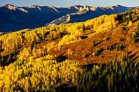 Autumn aspens on hillside around The Castles of West Elk Range, Gunnison NF, Ohio Pass, CO
