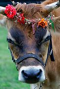 Steer with flower wreath.