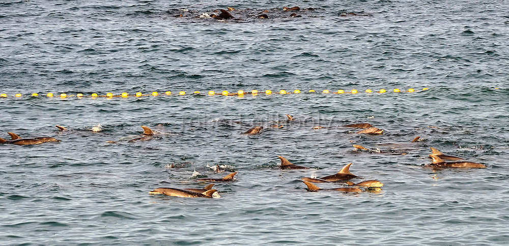 "Bottle nose dolphins swim around a a shallow, netted-off section of the cove that is the at the center of the controversial film ""The Cove"" in Taiji, Japan on 10 September 2009."