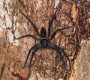 Black-Jaw Huntsman (Heteropoda tetrica, female) from Tanjung Puting National Park, Kalimantan, Borneo