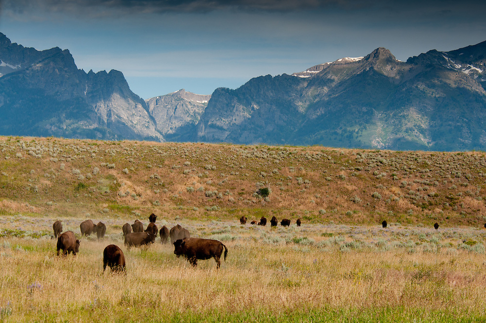 American Bision graze the plains leading to the Tetons Mountains in Teton National Park, Wyoming