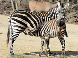 Zebras enjoys the sunshine in the Hannover zoo, Germany, on March 6, 2013, March 6, 2013. Photo by Imago / i-Images...UK ONLY..Contact..Andrew Parsons: 00447545 311662.Stephen Lock: 00447860204379