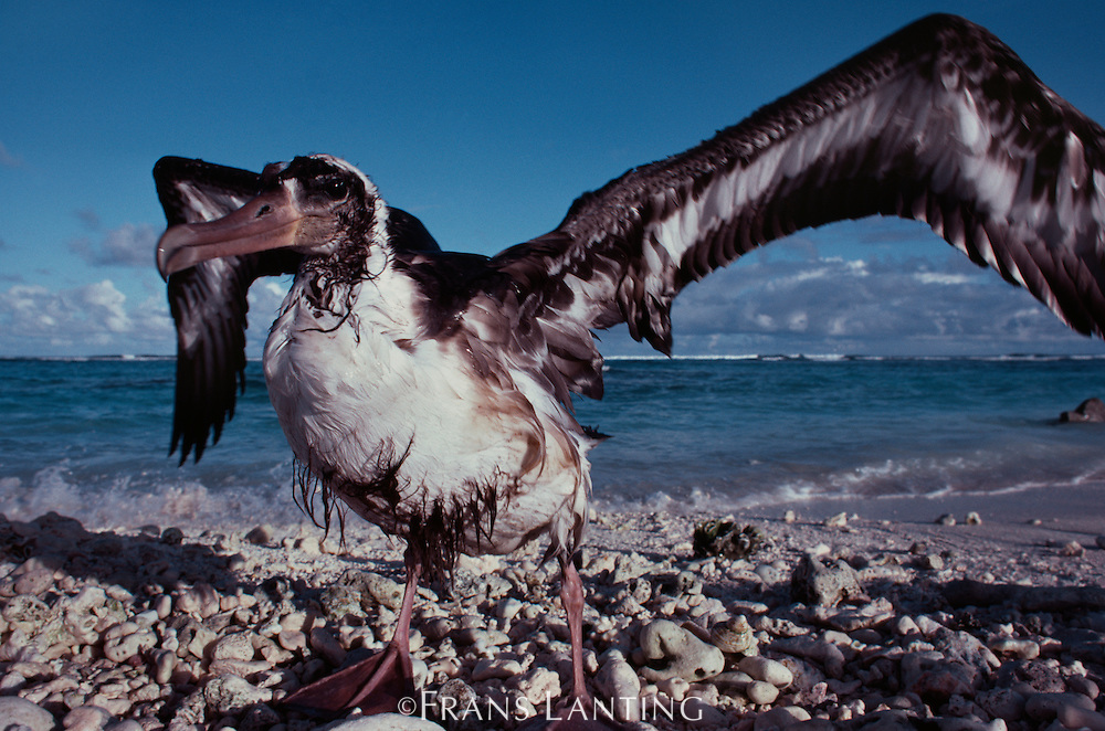 Waterlogged laysan albatross juvenile, Phoebastria immutabilis, Hawaiian Leeward Islands