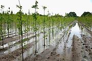 Nederland, Beugen, 16-6-2016Boomkwekers lijden grote schade door de zware regenval van de afgelopen wekenFOTO: FLIP FRANSSEN