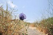 Echinops adenocaulos, Globe thistle. Photographed in Golan, Israel