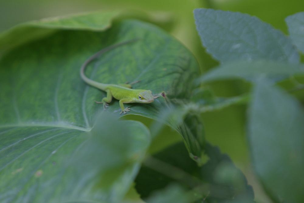 Green Anole on an Elephant Ear plant, Comal County, Texas