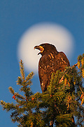 With a three-quarters moon as a backdrop, a bald eagle fledgling (Haliaeetus leucocephalus) calls out from the top of a Douglas fir tree.