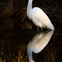 A great egret (Ardea alba) pauses during fishing and is reflected in the tanin-rich waters of an impoundment, Chincoteague National Wildlife Refuge, Assateague Island, Virginia.