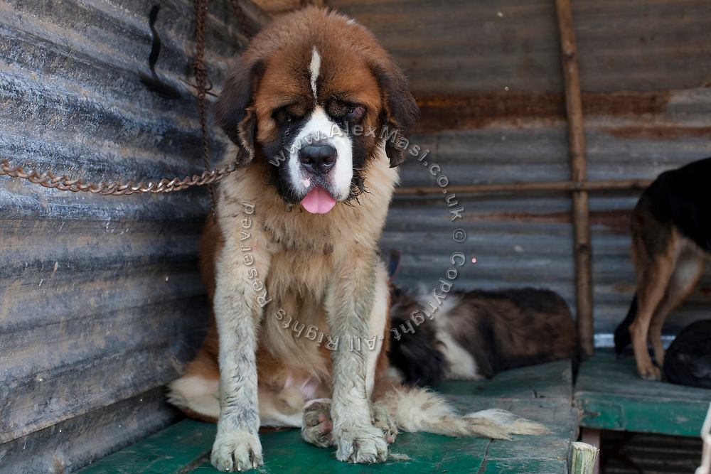 A chained Saint Bernard dog in extremely poor health conditions is on sale during the yearly Sonepur Mela, Asia's largest cattle market, in Bihar, India.