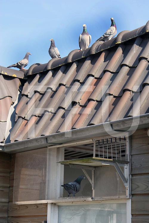 060315, nieuwleusen, ned<br /> Sier- en postduiven, die de afgelopen weken verplicht opgehokt waren, mogen weer buiten hun vleugels uitslaan. Minister Veerman (Landbouw) voert de versoepeling van de afschermplicht door, omdat deze groep vogels nauwelijks een rol bij de verspreiding van het vogelgriepvirus speelt. <br /> foto: Ton de Vries heeft voor zijn hobby een aantal duiven,  en hij is blij dat zijn vogels weer naar buiten mogen,<br /> fotografie frank uijlenbroek&copy;2006 monique kruizinga