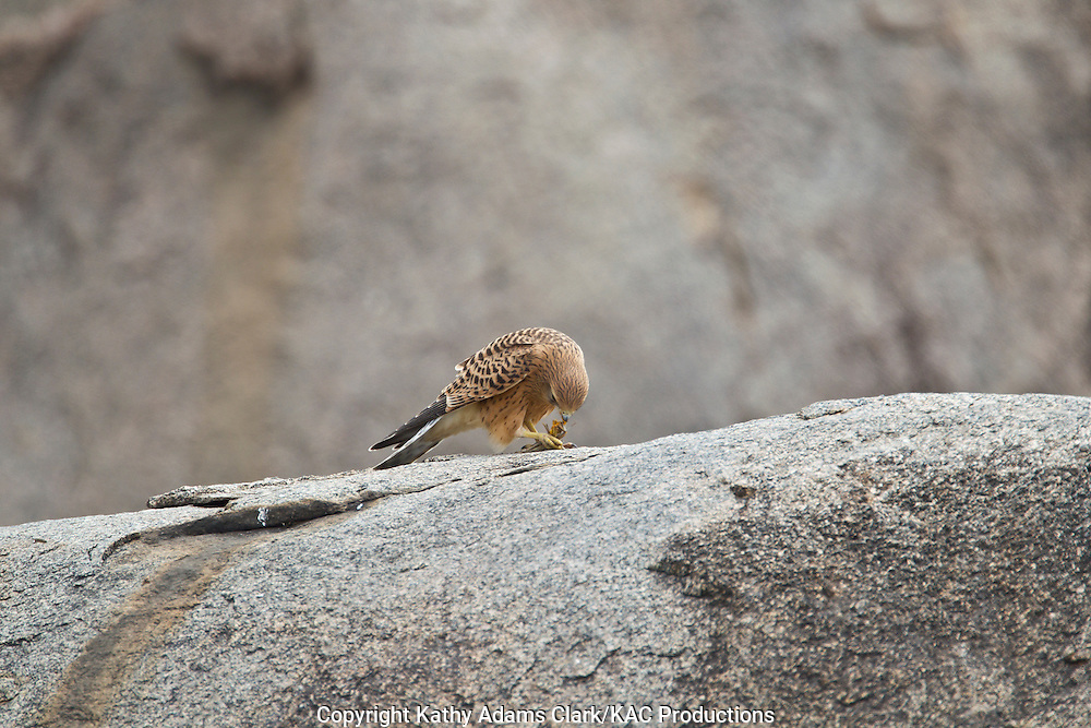 Great kestrel, Falco nipicoloides arthuri, feeding on grasshopper, Serengeti Plains, Serengeti National Park, Tanzania, Africa
