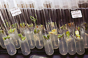 Zaiger Genetics: Apricots in test tubes in the tissue culture lab run by Grant Zaiger, Floyd's son. Floyd Zaiger (Born 1926) is a biologist who is most noted for his work in fruit genetics. Zaiger Genetics, located in Modesto, California, USA, was founded in 1958. Zaiger has spent his life in pursuit of the perfect fruit, developing both cultivars of existing species and new hybrids such as the pluot and the aprium. Tissue culture Lab. 1983.
