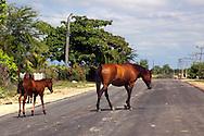 Horses in Jesus Menendez, Las Tunas, Cuba.