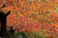 France, Languedoc Roussillon, Gard, Cévennes, cerisiers en automne