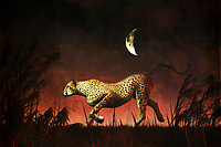 If you have never visited the continent of Africa, you can still appreciate this extraordinary image of a cheetah on the hunt. It is nighttime, wherever the cheetah might be in Africa, and it isn't difficult to imagine that it is also a very hot night. The cheetah doesn't seem to care much about the weather. It simply wants to catch its prey. It has clearly found something. It is very definitively on the move. Given what we know about cheetahs, we know this particular cheetah is almost certainly going to catch that prey soon. Available as t-shirts, wall art, or interior home décor products.