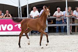 002 - Homerun<br /> KWPN Paardendagen - Ermelo 2012<br /> © Dirk Caremans