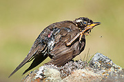 "The English name derives from the bird's red underwing. It is not closely related to the Red-winged Blackbird, a North American species sometimes nicknamed  ""redwing""."