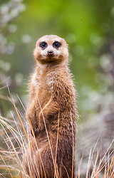 The clan McMeerkat arrives back at Edinburgh Zoo. The eleven meerkats are at Edinburgh Zoo, eight females and three males, and they arrived in February 2012 from Cologne Zoo, Germany..©Michael Schofield.