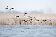 Redheads, Aythya americana, Harsen's Island, Michigan, Harsen's Island, Michigan