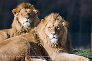 Close up on Heads of Two Resting Lions, Panthera Leo, Yorkshire Wildlife Park, Doncaster, England