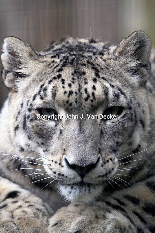 Snow Leopard, Panthera uncia, Cape May County Zoo, New Jersey, USA