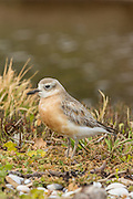 New Zealand Dotterel, Waiheke Island