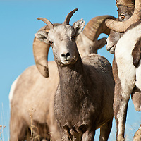 ewe with ram heard chansing rut wild rocky mountain big horn sheep